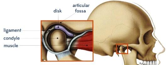 articulatia temporo mandibulara anatomie